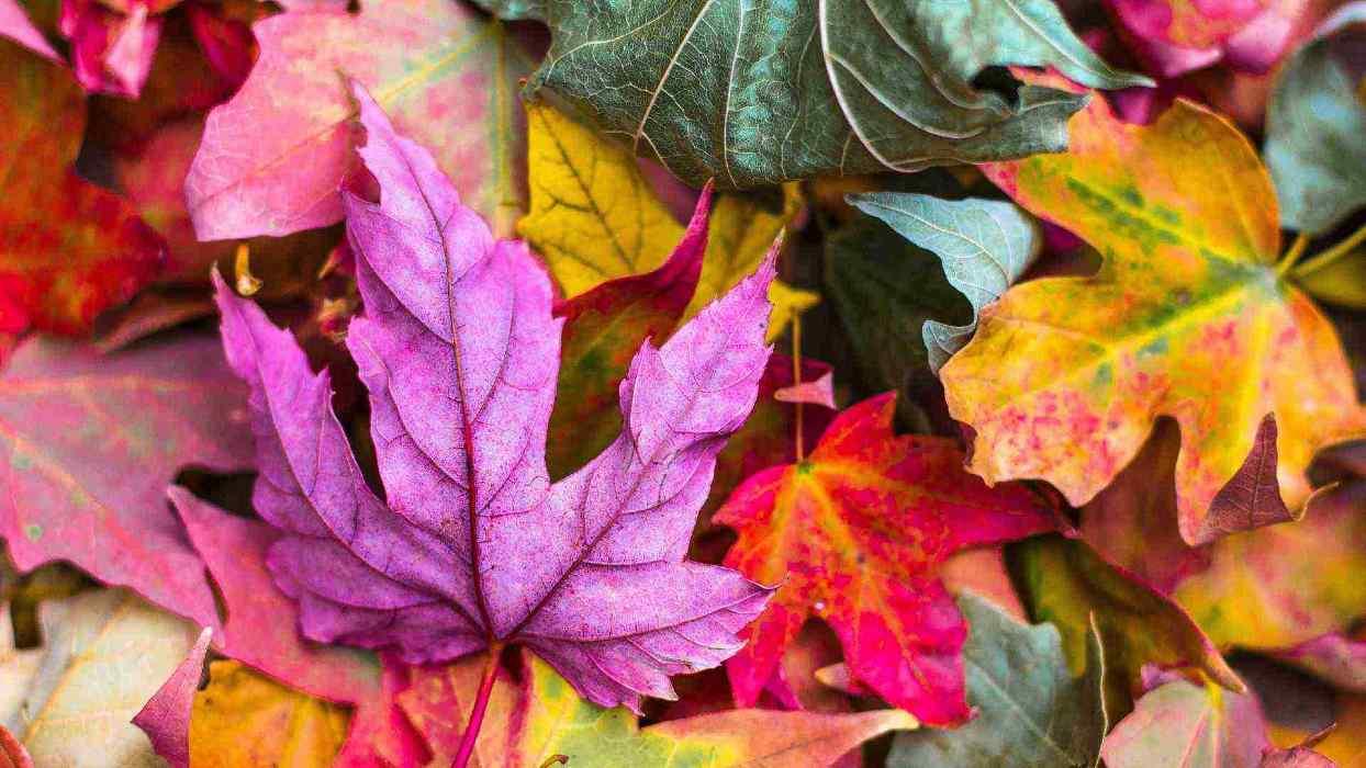 Des feuilles d'arbres de couleurs vives